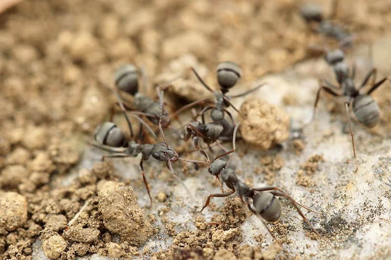Getting Rid of Ants in Your House